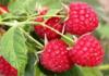 Байкал ЭМ1 повышает урожайность малины