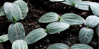 Как ускорить проращивание семян